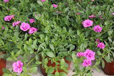Japaninkello 'Calita double rose ' Rose, Plants, Pink, Plant, Roses, Planets