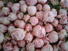 Pioenrozen, mijn favoriete bloem...deze roze zijn gewoonweg prachtig!