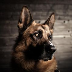 Pictures of German Shepherd Dogs #great #amazing socialmediabar.co... • APlaceToLoveDogs.com • dog dogs puppy puppies cute doggy doggies adorable funny fun silly photography