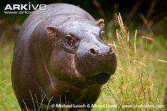Pygmy Hippopotamus | Pygmy hippopotamus photo - Choeropsis liberiensis - G115186 - ARKive