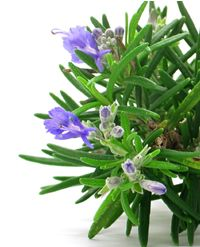 Rosemary is such an extremely useful herb, with so many culinary, medicinal and aromatherapy attributes that it is hard to qualify which ones are the most important. Rosemary stimulates the central nervous system and circulation making it beneficial for low blood pressure and sluggishness. Rosemary oil and rosemary essential oil are used to alleviate the pain of sprains, arthritis, sciatica and neuralgia. Rosemary extract (rosmarinic acid) is a natural way to stabilize and extend the shelf l...