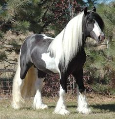 Gypsy Vanner for Free | gypsy vanner horses horses in new york rayon and kikki gypsy vanner ...