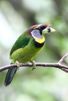 The Fire-tufted Barbet (Psilopogon pyrolophus) is a species of bird in the Ramphastidae family. It is monotypic within the genus Psilopogon.[citation needed]    It is found in Indonesia and Malaysia. Its natural habitats are subtropical or tropical moist lowland forests and subtropical or tropical moist montane forests.