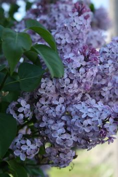 Lilacs. My all time favorite flower