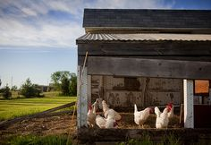Expect rain if chickens refuse to come out of their coop. - Almanac Weather Folklore