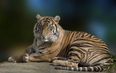 Tiger Wallpaper ID:309661 - Wallapper Abyss