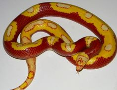 Yellow Splotched Nelson's Milksnake produced by Room Reptiles Animal Breeding, Land Turtles, Milk Snake, Snake Photos, Colorful Snakes, Corn Snake, Pet Snake, Beautiful Snakes, Snake Patterns