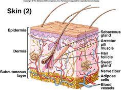 64 best skin anatomy images medicine skin anatomy anatomy rh pinterest com
