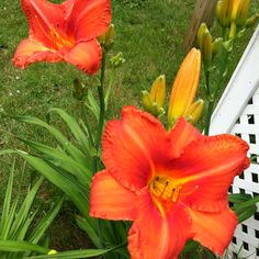 My lovely day lilies