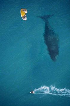 Wonderful photo of a kite surfer and a Blue Whale, offering an amazing size comparison!