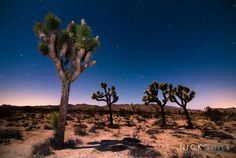 Moonlit Joshua Trees - Joshua Tree National Park - Nick Chill Photography, print of the month - #nationalpark #photography