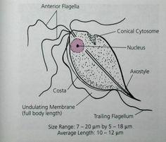 Trichomonas hominis trophozoite (no cyst stage)