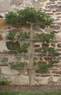 espalier fruit tree on wall behind veggie garden Dream Garden, Garden Art, Garden Plants, Garden Design, Fruit Garden, House Plants, Veg Garden, Espalier Fruit Trees, Trees And Shrubs