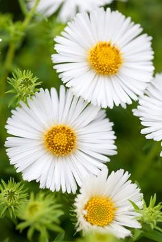 Asters are daisy-like flowers that bloom in late-summer and early-fall. Learning planting basics for these perennials including expert design tips to adding them to your garden.