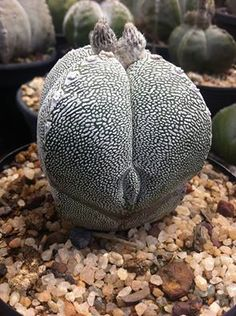 Astrophytum onzuka