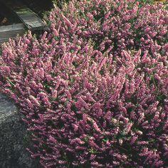 "Scotch Heather  Small Evergreen Shrub  15"" T  15"" W  Full sun  Summer bloom"