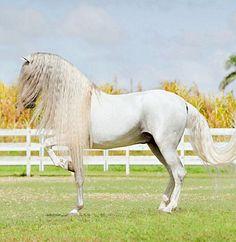 Pura Raza Española stallion, Conquistador JLP, of El Portal Andaluz. photo: Joanna Jodko.