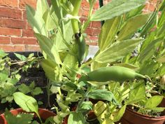 First crop of broad beans from the ELBS year 10 green house are ready #abbotsholmeschool #beans