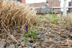 This plucky purple crocus was among the first we've spotted this season. Here's to many, many more!