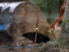A squirrel with an apple in its mouth jumps down from a tree next to a excavator shovel where an unexploded 1.8 tons WW II bomb was found in Frankfurt. Picture: Michael Probst/AP