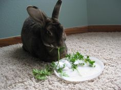 Bunny enjoys the last of the summer parsley, with a side of snow - January 4, 2013
