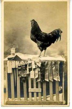 Yep, that's one damn good chicken.  Rhode Island Red.