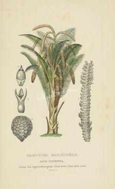 sagus farinifera      ...