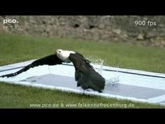 ▶ High Speed Eagle in Slow Motion - YouTube