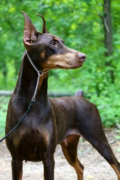 Drooling! Wow, what a beautiful example of the breed!