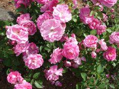 Magnifique rosier qui, avec les lupins, sert d'aimant à pucerons. Les rosiers sont près du jardin tandis que les lupins son éloignés. Depuis que nous utilisons cette approche, nous n'avons plus vu aucun puceron dans notre potager.