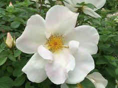 Floraison spectaculaire et charmante du rosier 'Nevada' http://www.pariscotejardin.fr/2016/05/floraison-spectaculaire-et-charmante-du-rosier-nevada/