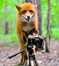 Red Fox and Camera Animals And Pets, Baby Animals, Funny Animals, Cute Animals, Wild Animals, Fuchs Baby, Fennec, Fantastic Fox, Foxes Photography