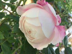 Rosa Pierre Oger #roseantiche