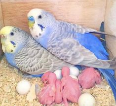 Funny Birds, Cute Birds, Pretty Birds, Beautiful Birds, Animals Beautiful, Baby Parakeets, Budgies Parrot, Parakeet Bird, Cockatiel