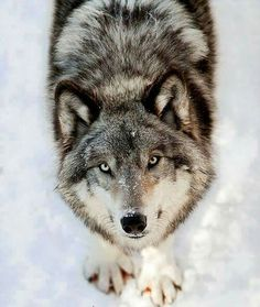 Beautiful sweet wolf