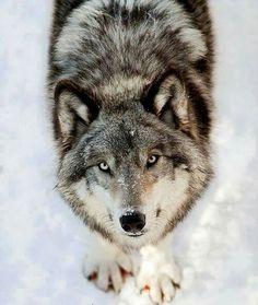 Beautiful sweet wolf