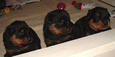 Dark Waters Rottweilers - Florida