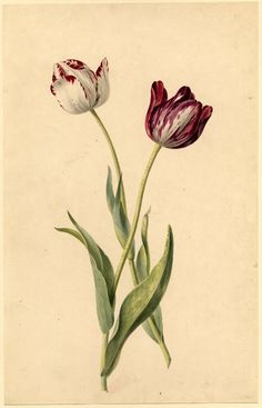 Two Tulips, Watercolour, Drawn by: James Sillet, 1764-1840. British Museum collection