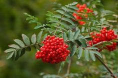 The distinctive berries and leaves of the rowan tree or mountain ash.