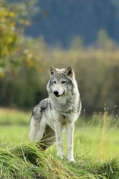 "beautiful-wildlife: ""Female Gray Wolf, Alaska by © Doug Lindstrand """