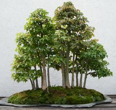 a cluster of bonsai trees