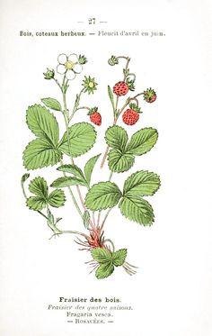 wild strawberry - vintage botanical print