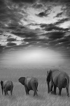Elephants walking ...beautiful black and white photography
