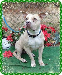 Marietta, GA - American Pit Bull Terrier/Shepherd (Unknown Type) Mix. Meet LOTTIE, a dog for adoption. http://www.adoptapet.com/pet/12141624-marietta-georgia-american-pit-bull-terrier-mix
