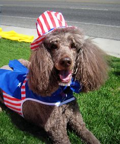 Yankee Doodle Poodle    Coco at the Mammoth Lakes 4th of July Parade, 2008