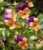 Pansies are Edible
