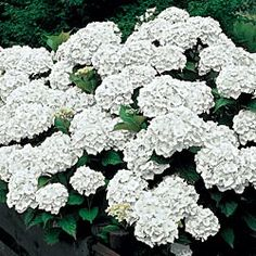 Sister Therese Hydrangea. White - not as round of blooms as a traditional hydrangea, but very pretty. $15.99 each - would take 3 years to look like the pic. would only need 2-3