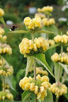 brandkruid. phlomis russeliana