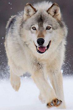 Lobo *-* (E-Nº14)