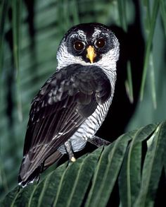 The Spectacled Owl is primarily a bird of tropical rain forests, being found mostly in areas where dense, old-growth forest is profuse. This species is largely nocturnal, starting activity right around the time of last light at dusk and usually being back on their roosts for the day around first light.